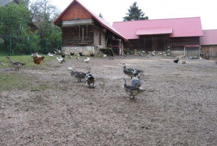 kaczki francuskie